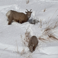 2020 Winter in Yellowstone National Park